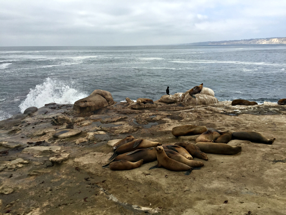 The Wandering Weekenders- Visiting The Sea Lions At La Jolla Cove