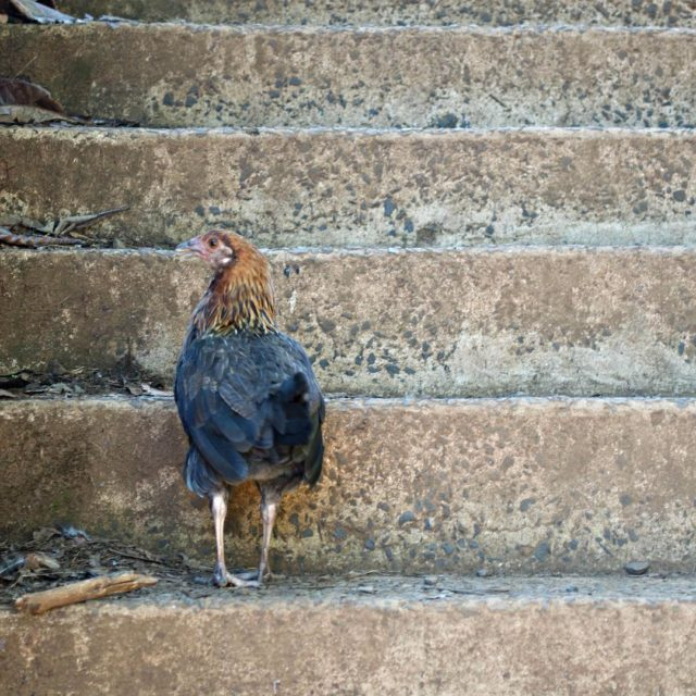 On the island of Kauai there are seriously wild chickenshellip
