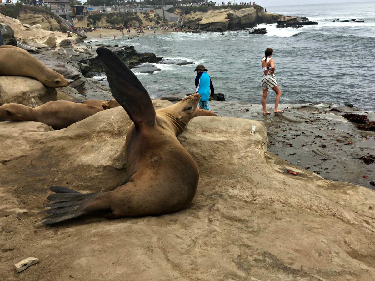 The Wandering Weekenders Visiting Sea Lions At La Jolla Cove